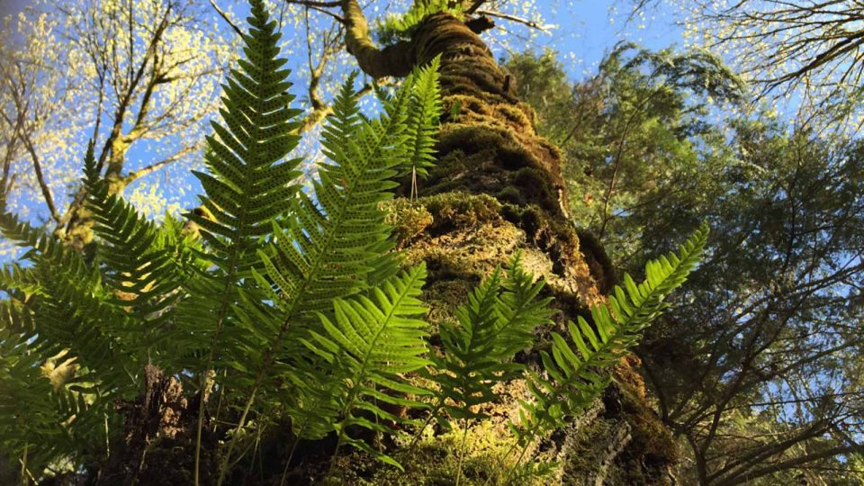Looking up at licorice ferns and big leaf maple branches